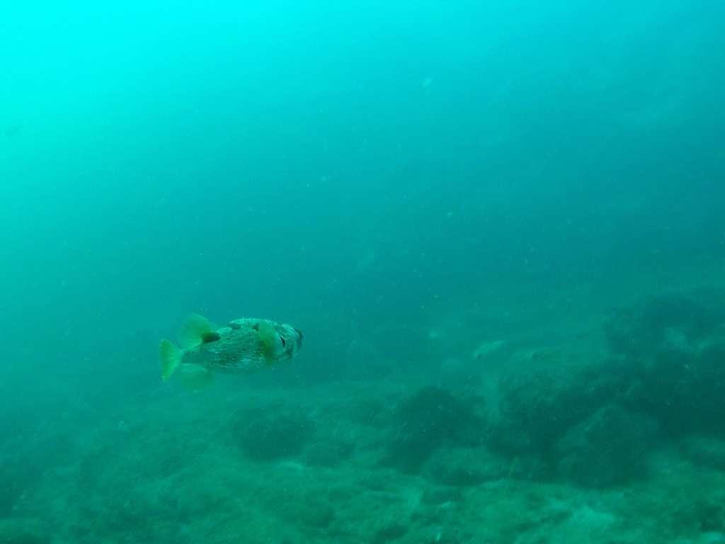 Pez globo en el Pacífico de Costa Rica