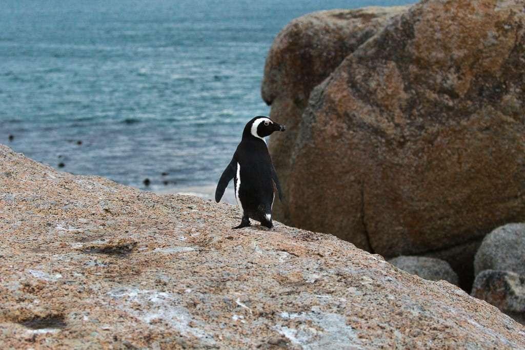 Pingüino mirándonos en Boulders Beach, Península del Cabo, Sudáfrica