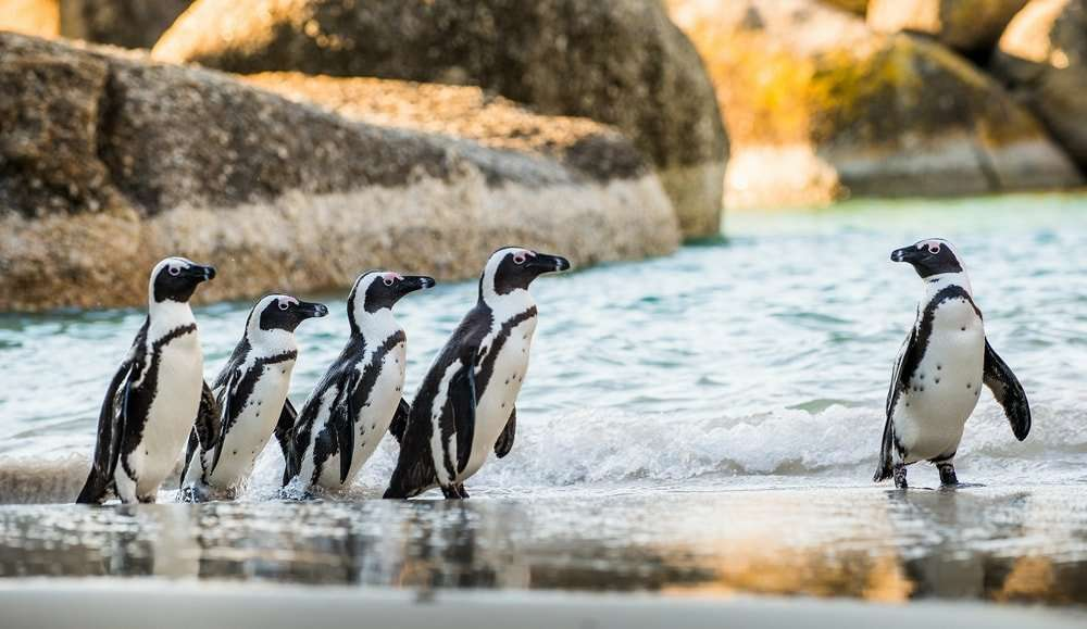 Pingüinos de Boulders beach en la Península del Cabo, Sudáfrica