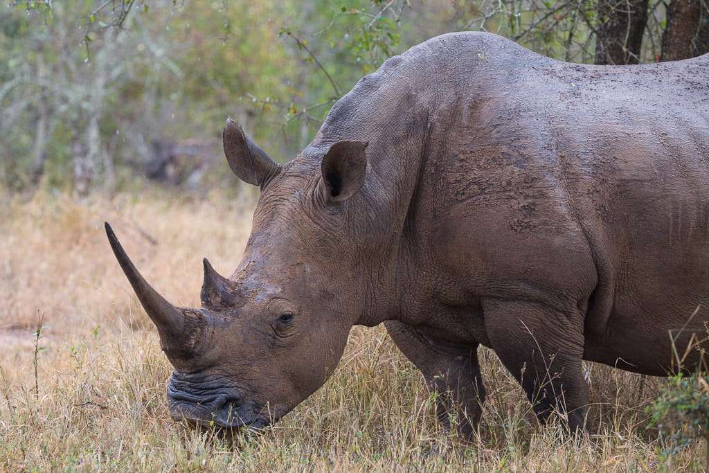 Rinoceronte en el Parque Hlane, Suazilandia