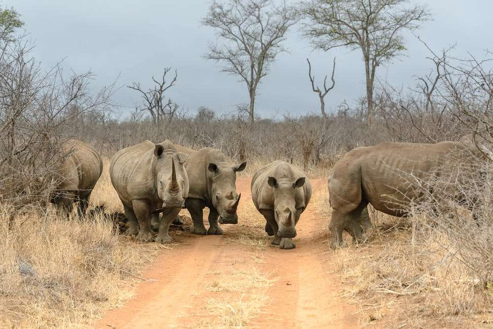 Rinocerontes blancos en el Parque Hlane de Suazilandia