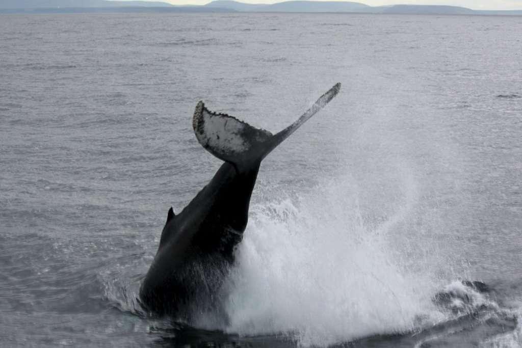 Una ballena saltando cerca de Húsavík