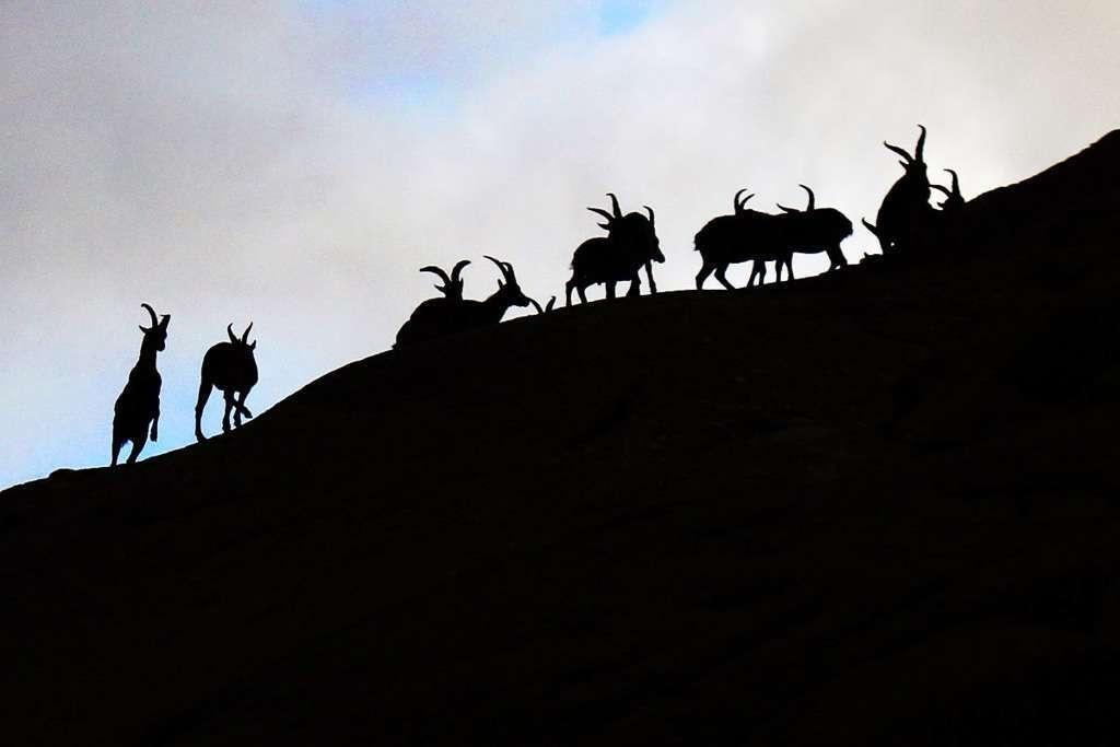 Cabras montesas en la montaña