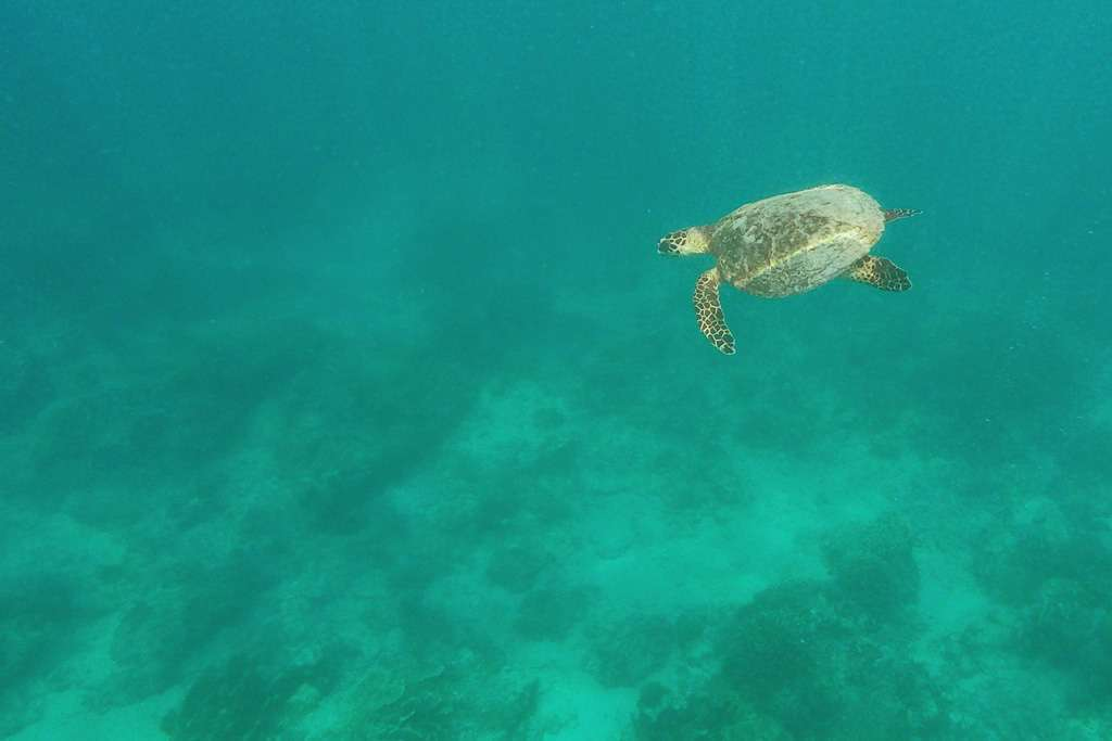 Una tortuga marina en Gili Trawangan