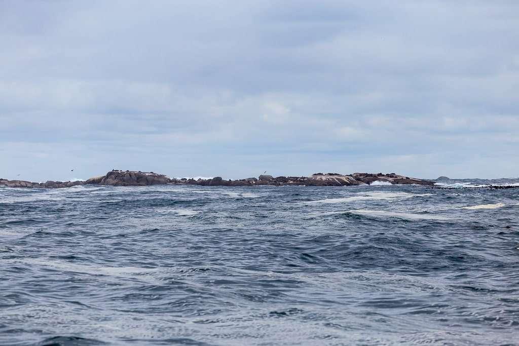 Colonia de leones marinos en Duiker Island, Península del Cabo, Sudáfrica