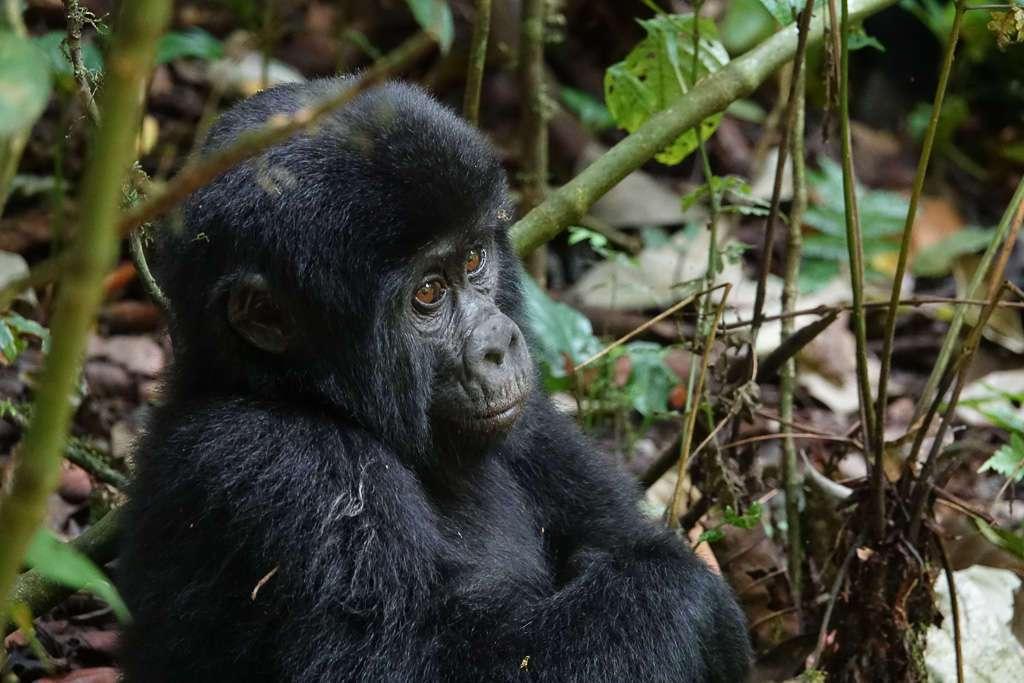 Cría de gorila en Bwindi, Uganda