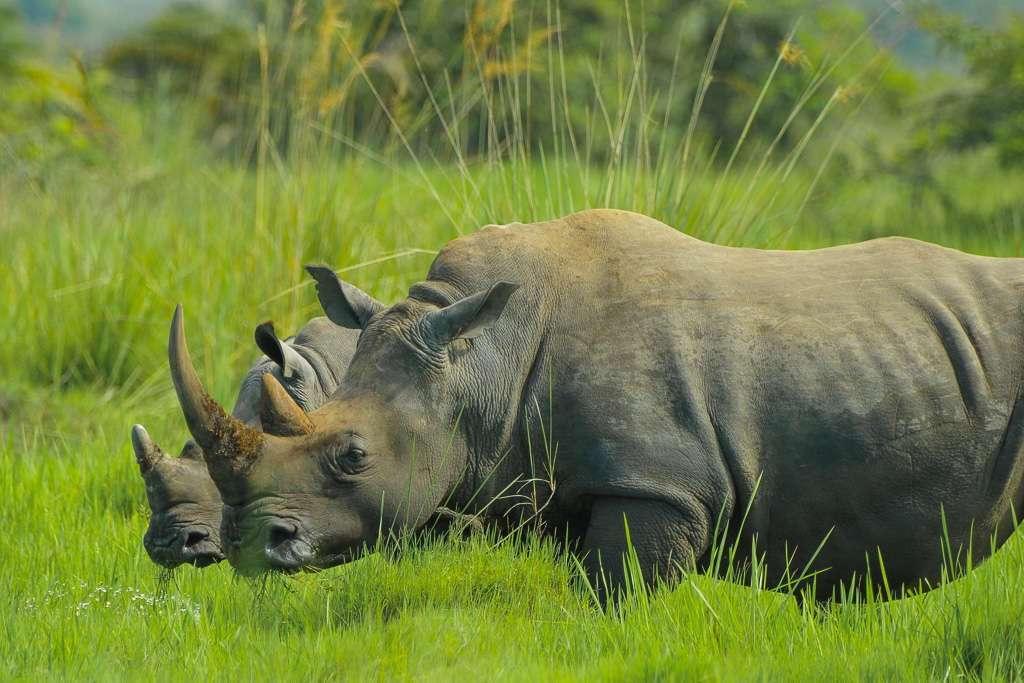 Rinoceronte en el santuario Ziwa Rhino, Uganda