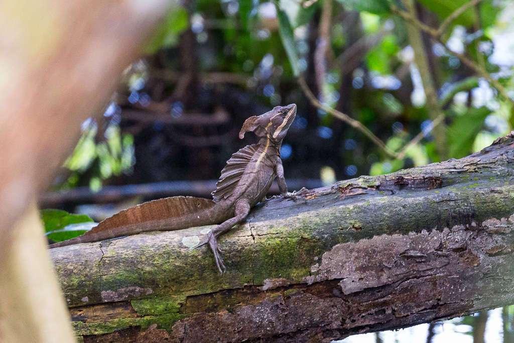 Basilisco en el Parque Nacional Manuel Antonio, Costa Rica
