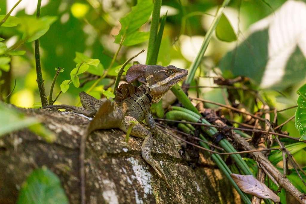 Basilisco en Tulemar, Manuel Antonio, Costa Rica