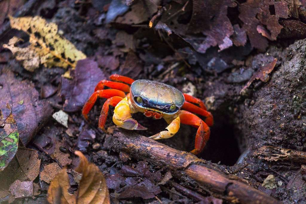 Cangrejo en el Sendero El Manglar, Parque Nacional Manuel Antonio, Costa Rica