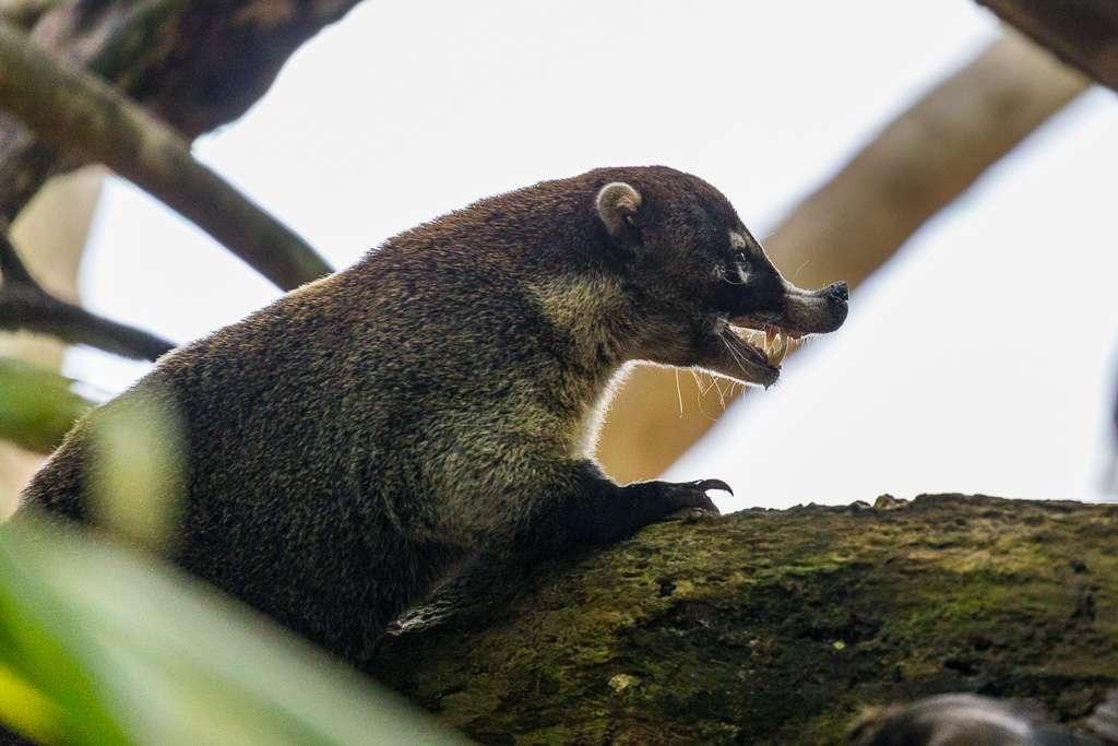 Cara pizote, Parque Nacional Manuel Antonio, Costa Rica
