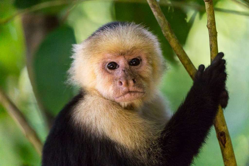 Rostro mono carablanca, Parque Nacional Manuel Antonio, Costa Rica