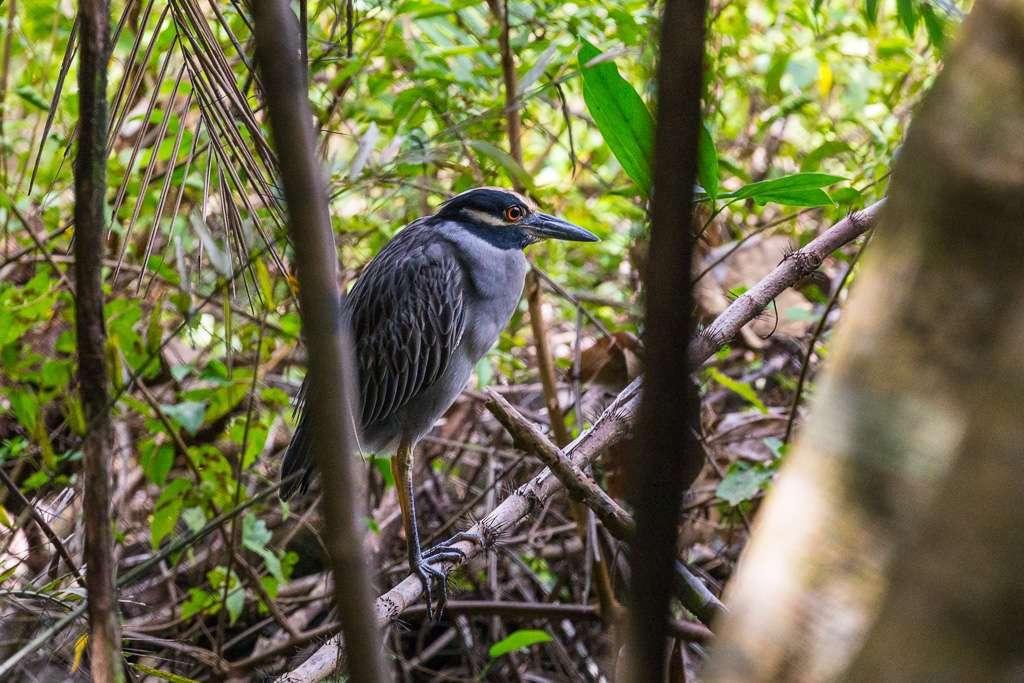 Chocuaco o garza de pico de bota en el Parque Nacional de Manuel Antonoi, Costa Rica