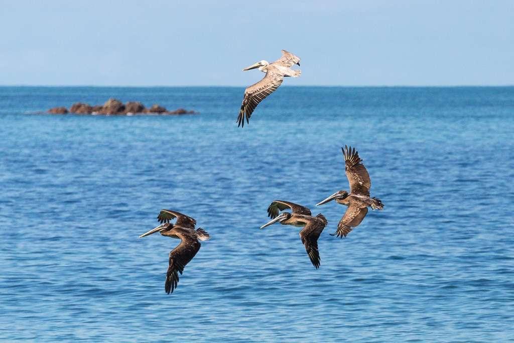 Pelícanos volando cerca de la playa de Tulemar, Manuel Antonio, Costa Rica