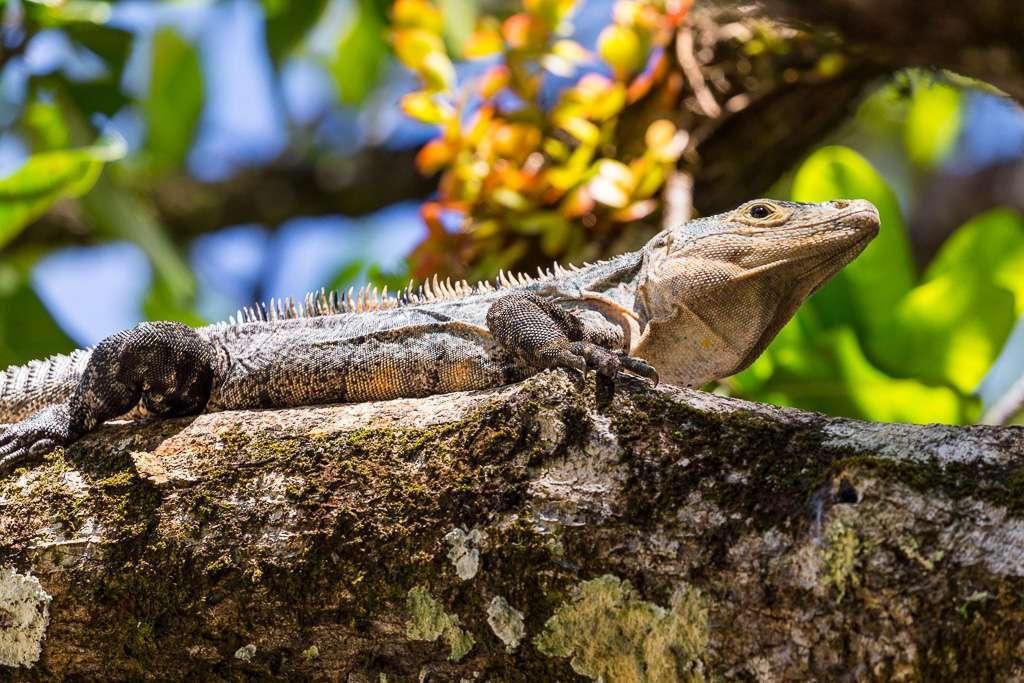 Iguana en la playa Manuel Antonio, Costa Rica
