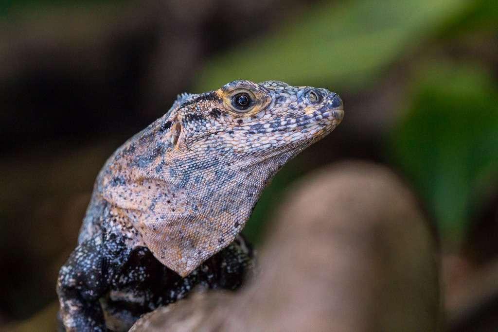 Cara de iguana en el Parque Nacional de Manuel Antonoi, Costa Rica