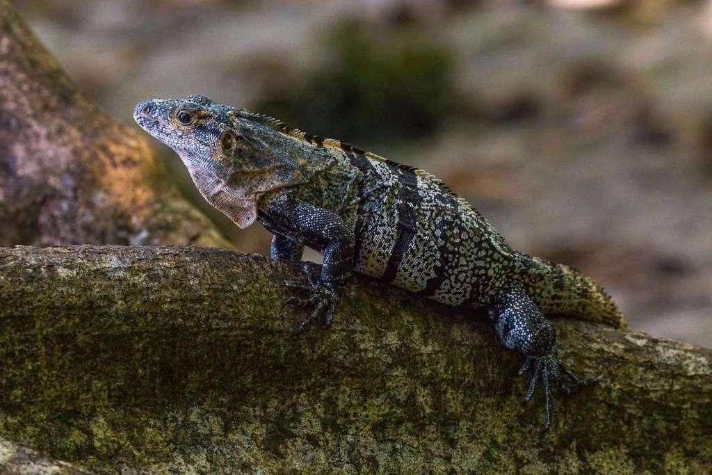 Iguana en el Parque Nacional Manuel Antonio, Costa Rica
