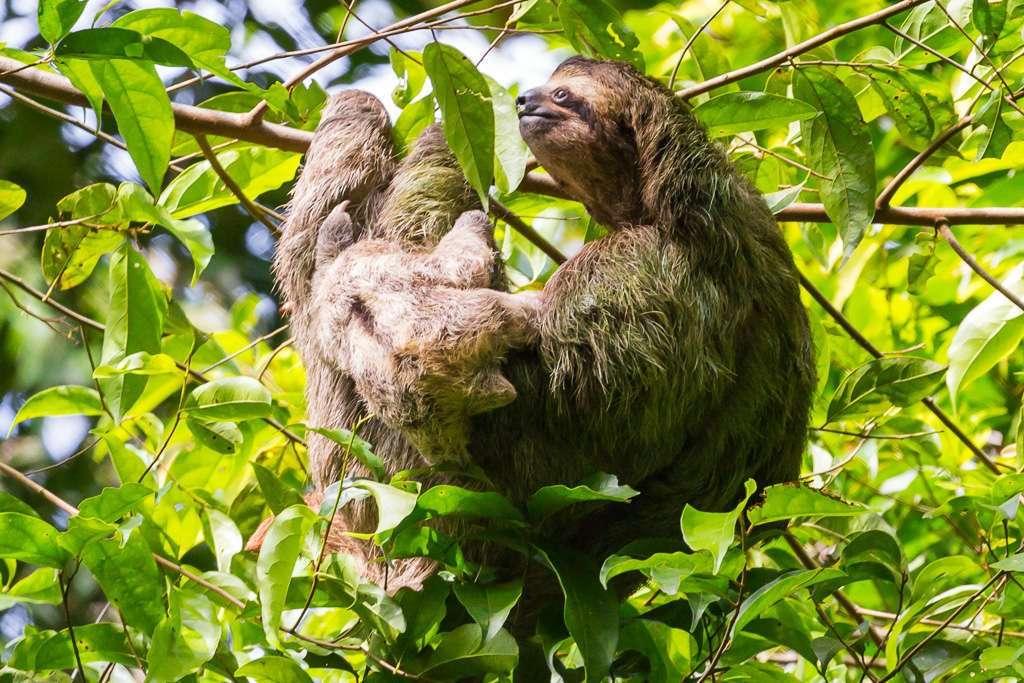 Madre perezoso de tres dedos con su cría, Parque Nacional Manuel Antonio, Costa Rica