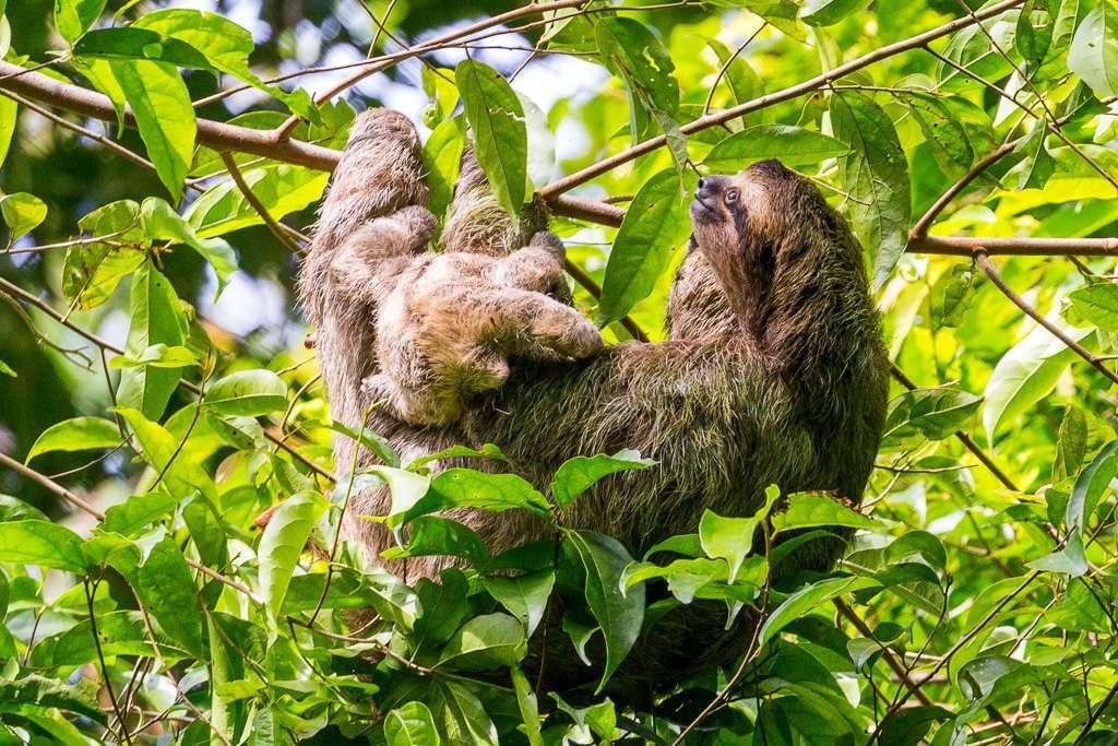 Perezoso de tres dedos y su cría en el Parque Nacional Manuel Antonio, Costa Rica