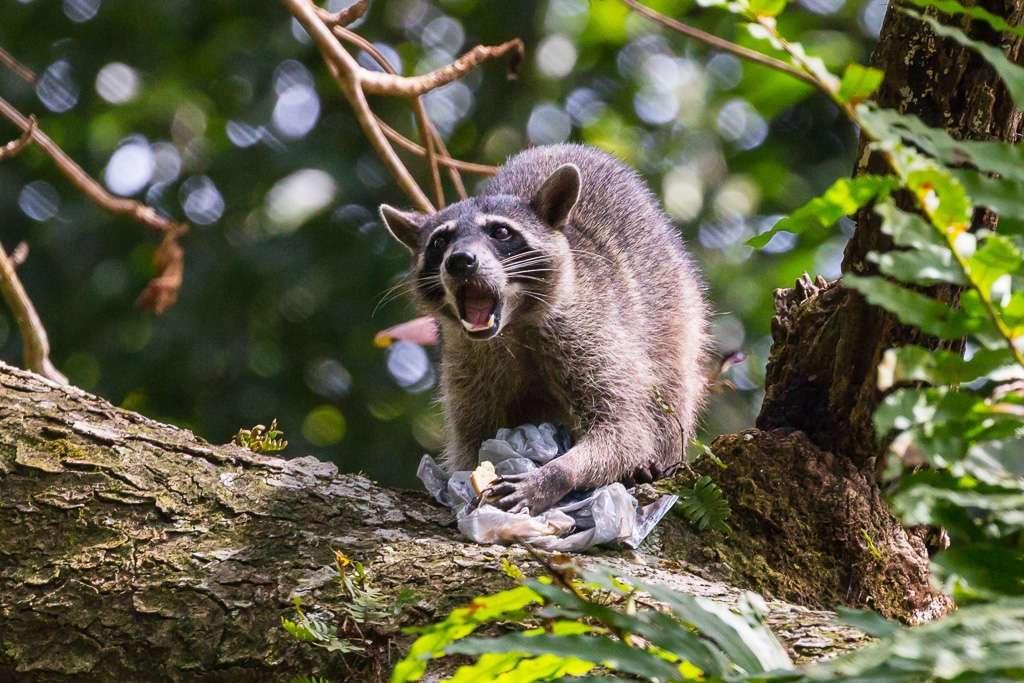 Mapache con bolsa del almuerzo de un turista, Parque Nacional Manuel Antonio, Costa Rica