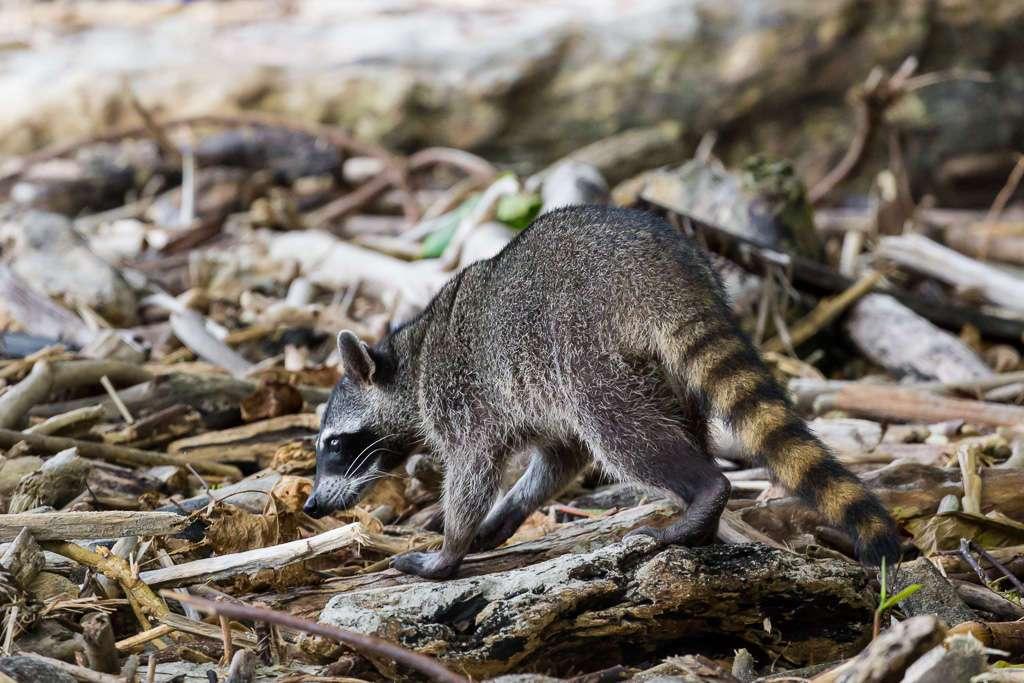 Mapache en el Parque Nacional Manuel Antonio, Costa Rica