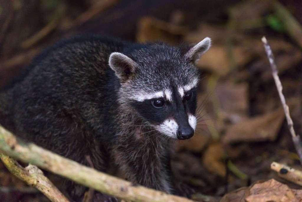 Cara mapache, Parque Nacional Manuel Antonio, Costa Rica