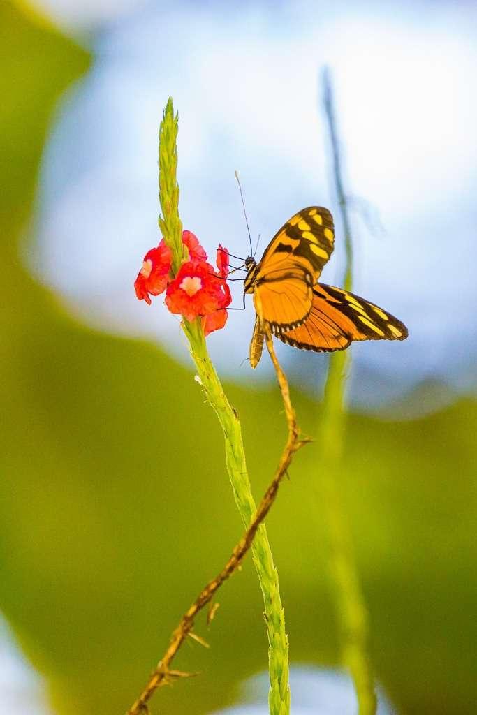 Mariposa sobre una flor en Tulemar, Manuel Antonio, Costa Rica