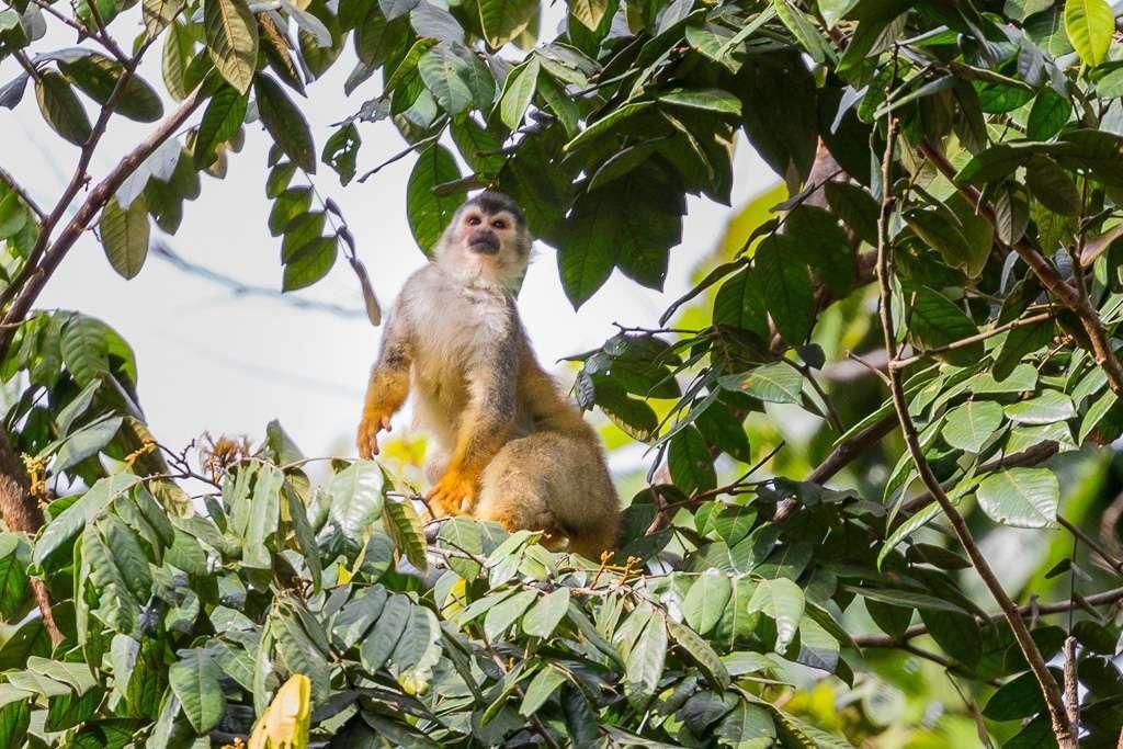 Mono ardilla en el Parque Nacional Manuel Antonio, Costa Rica