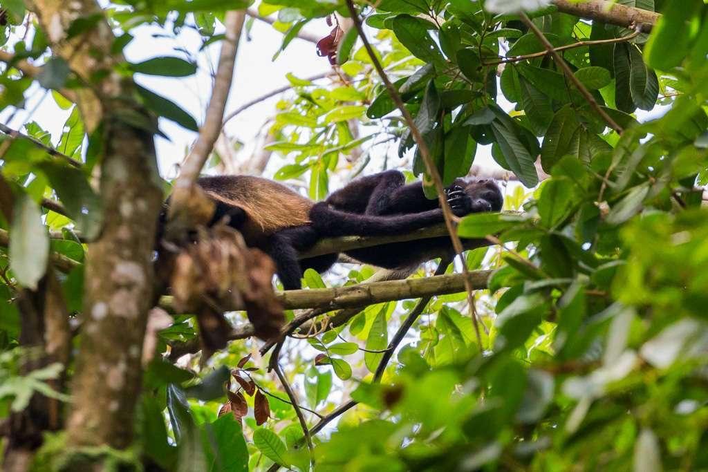 Mono aullador dormido, Parque Nacional Manuel Antonio, Costa Rica