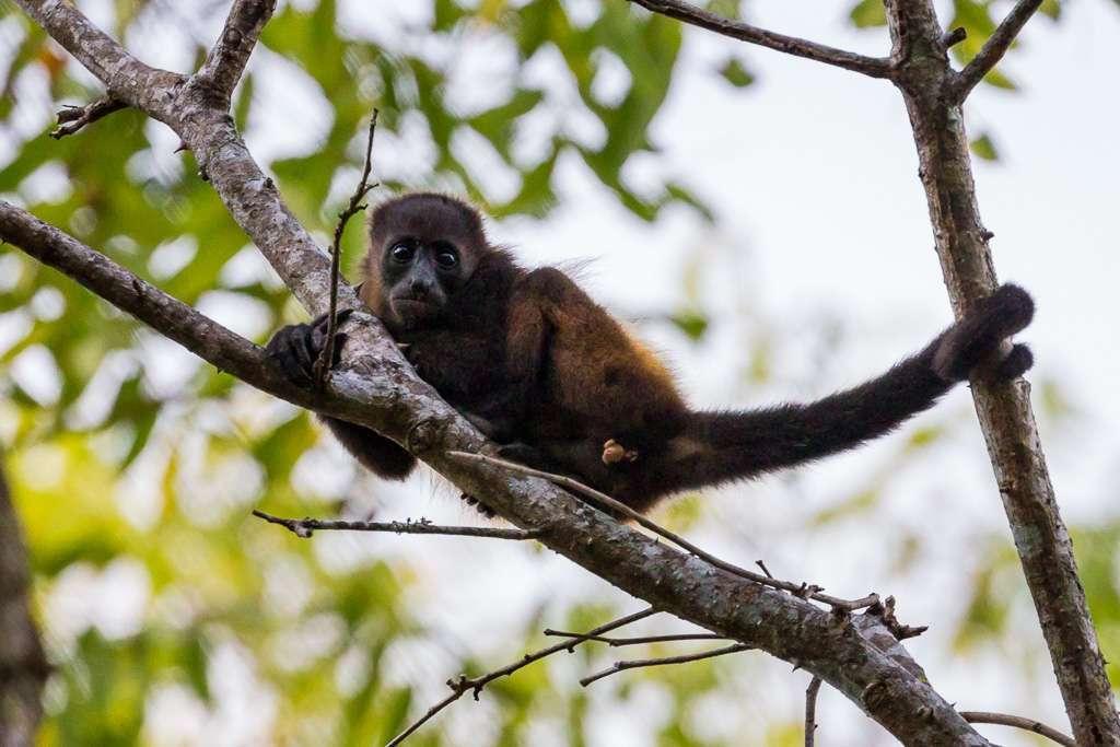 Cría de mono aullador en Tulemar, Manuel Antonio, Costa Rica
