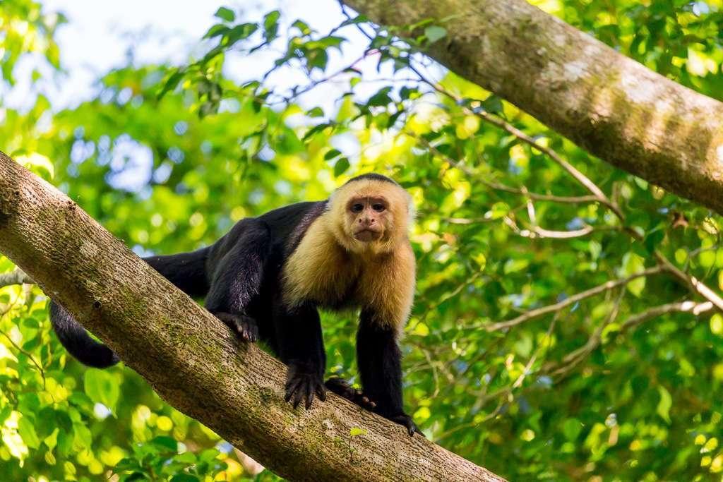 Mono carablanca en Tulemar, Manuel Antonio, Costa Rica