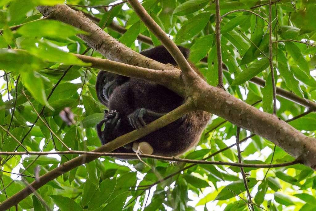 Mono congo o aullador, Parque Nacional Manuel Antonio, Costa Rica