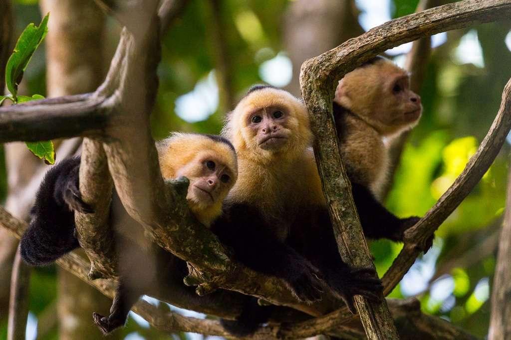 Monos carablanca, Parque Nacional Manuel Antonio, Costa Rica