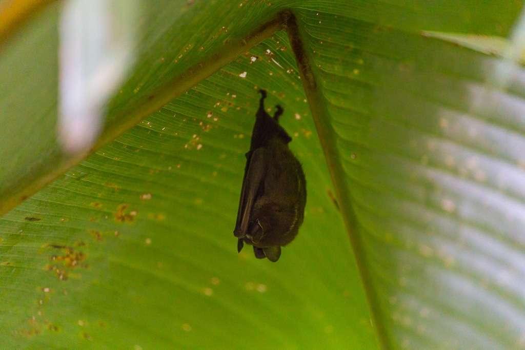 Murciélago en el Parque Nacional Manuel Antonio, Costa Rica