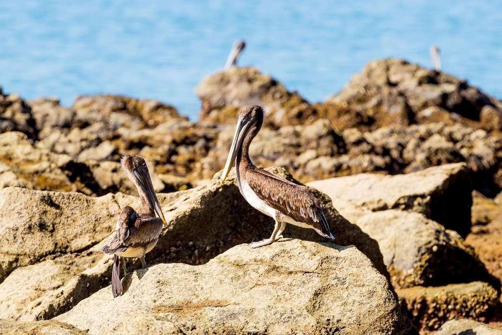 Pelícanos en las rocas de la playa de Tulemar, Manuel Antonio, Costa Rica