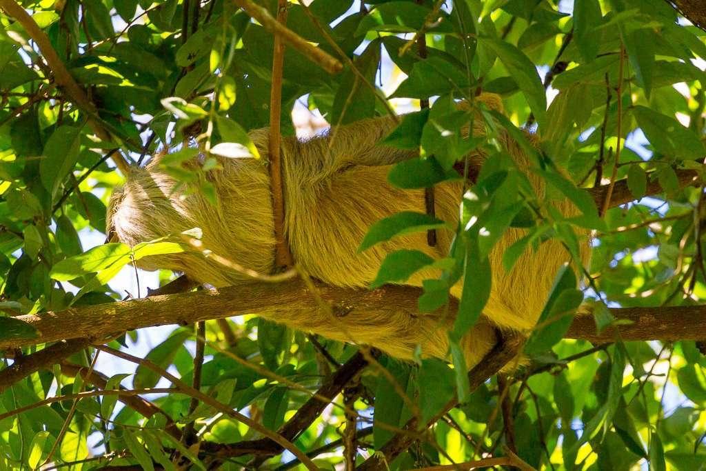 Perezoso blanco tumbado en una rama en Tulemar, Manuel Antonio, Costa Rica