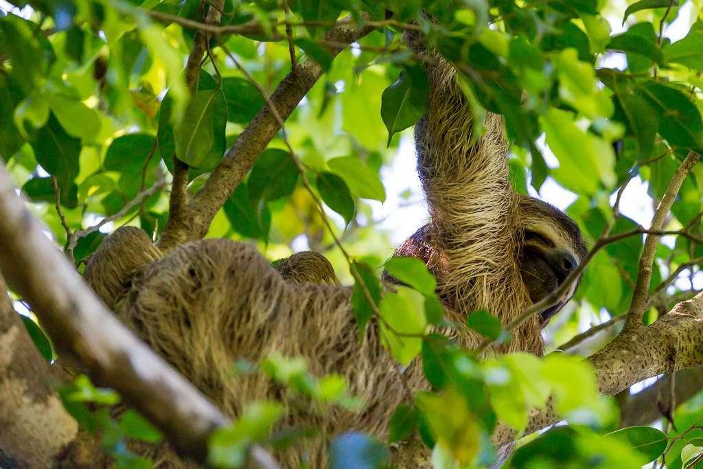 Perezoso entre las ramas en Tulemar, Manuel Antonio, Costa Rica