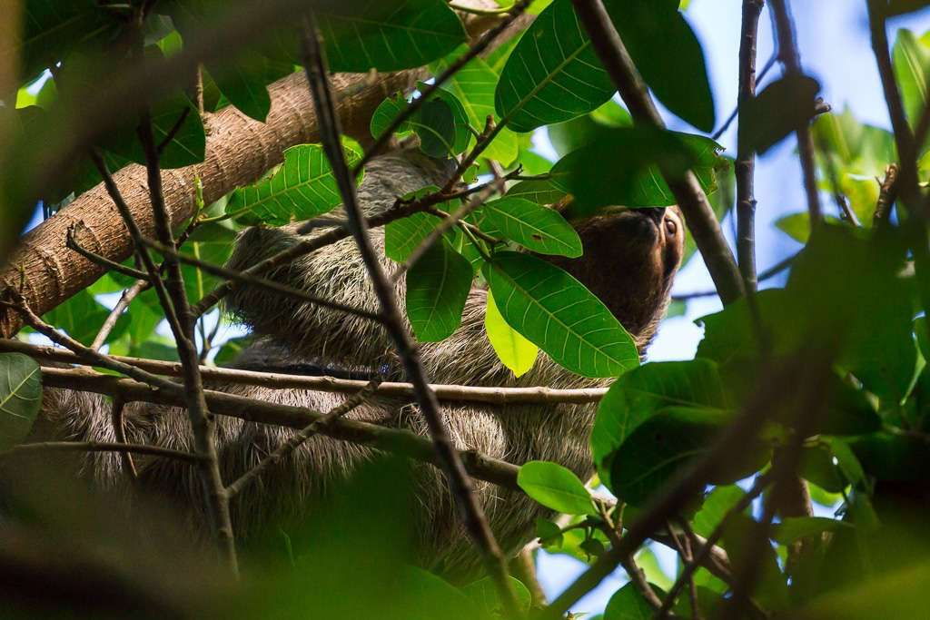 Perezoso escondido en Tulemar, Manuel Antonio, Costa Rica