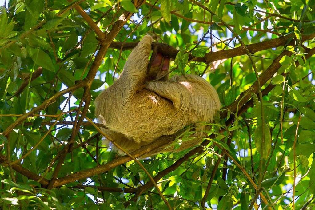 Perezoso colgado de una rama en Tulemar, Manuel Antonio, Costa Rica