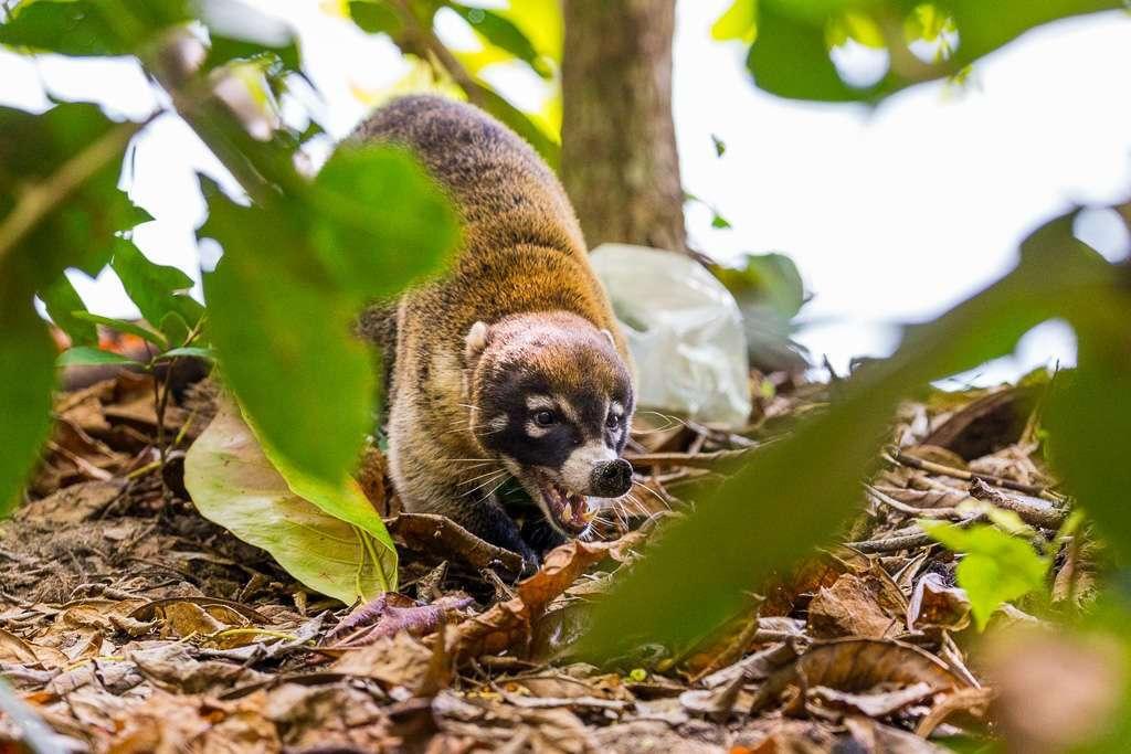 Pizote, Parque Nacional Manuel Antonio, Costa Rica