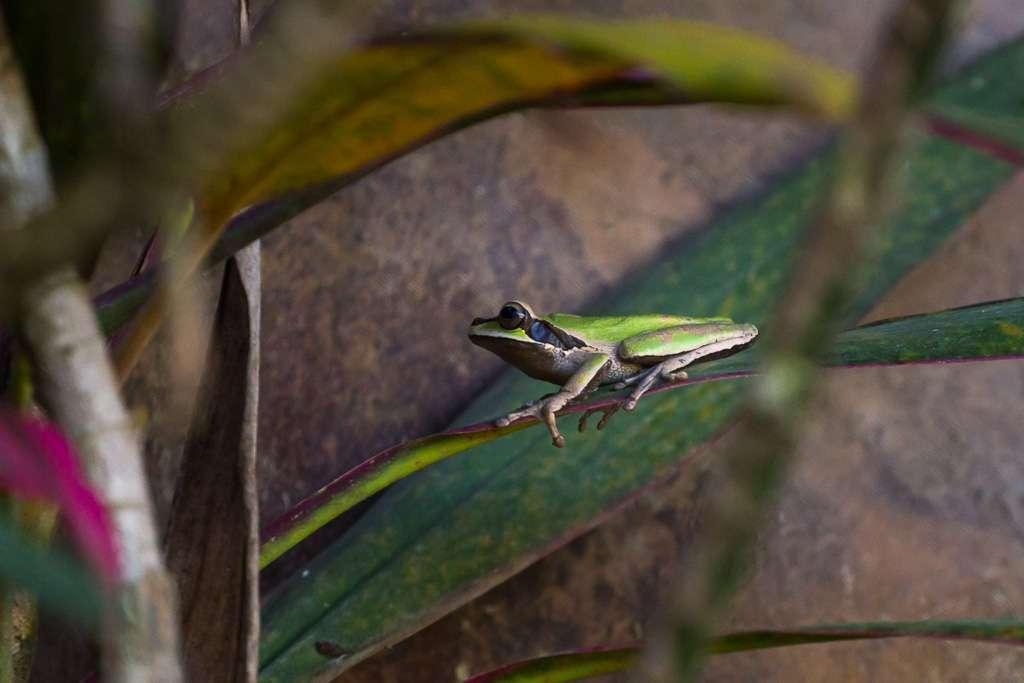 Rana en el Parque Nacional Manuel Antonio, Costa Rica