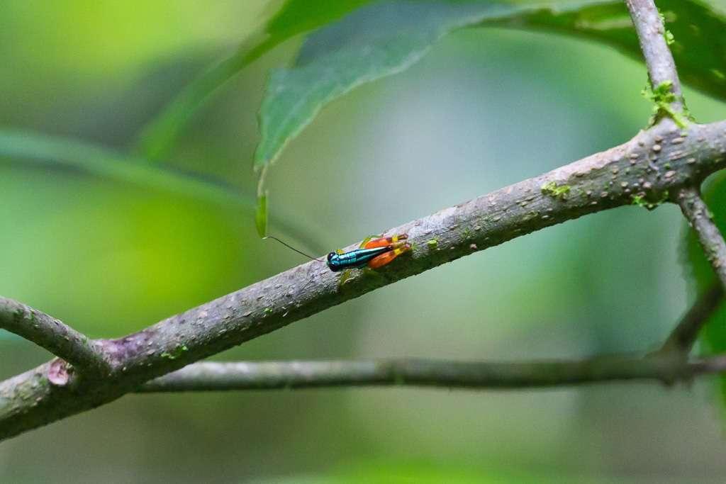 Saltamontes de colores en el Parque Nacional Manuel Antonio, Costa Rica