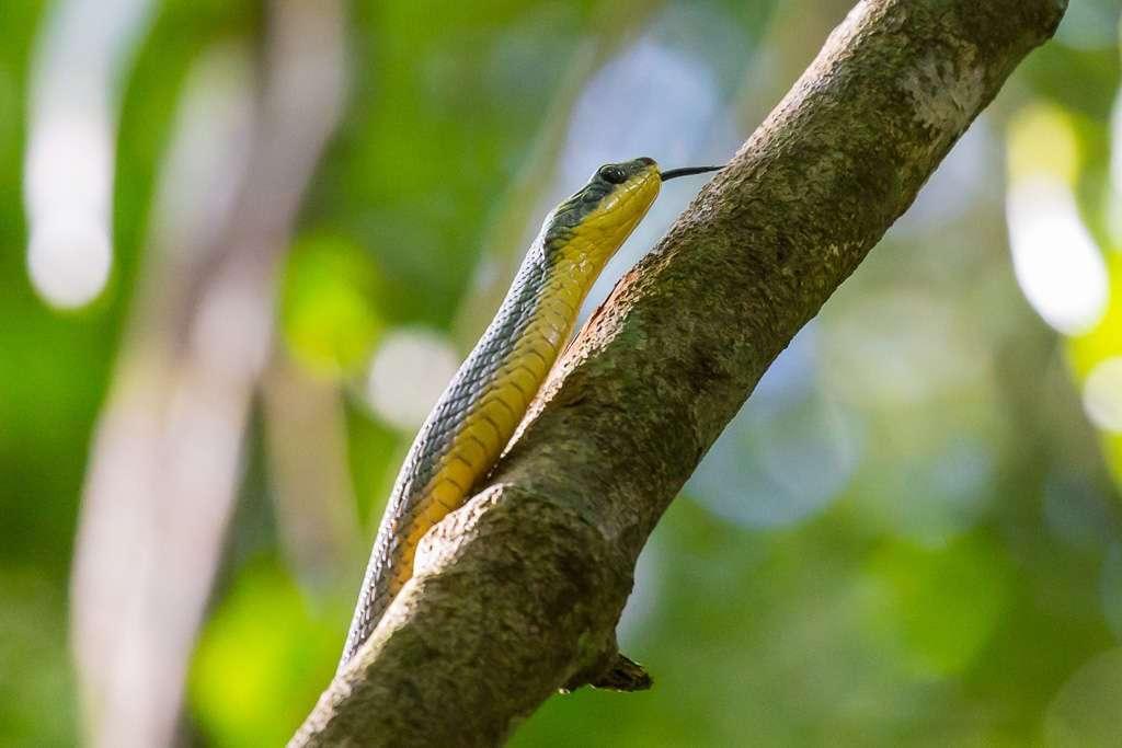 Serpiente en el Parque Nacional Manuel Antonio, Costa Rica