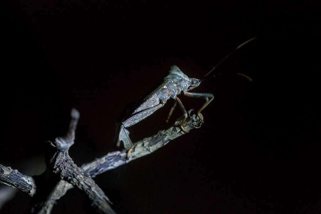 Insecto palo en el ranario de Monteverde, Costa Rica