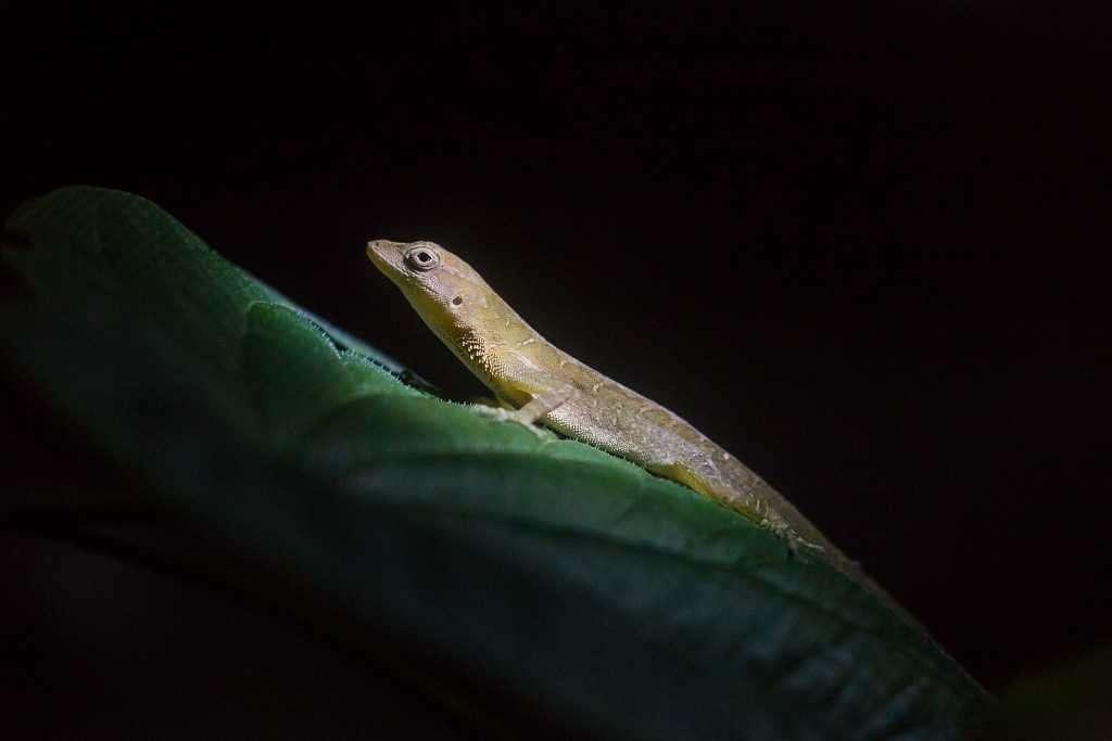 Lagarto en ranario de Monteverde, Costa Rica