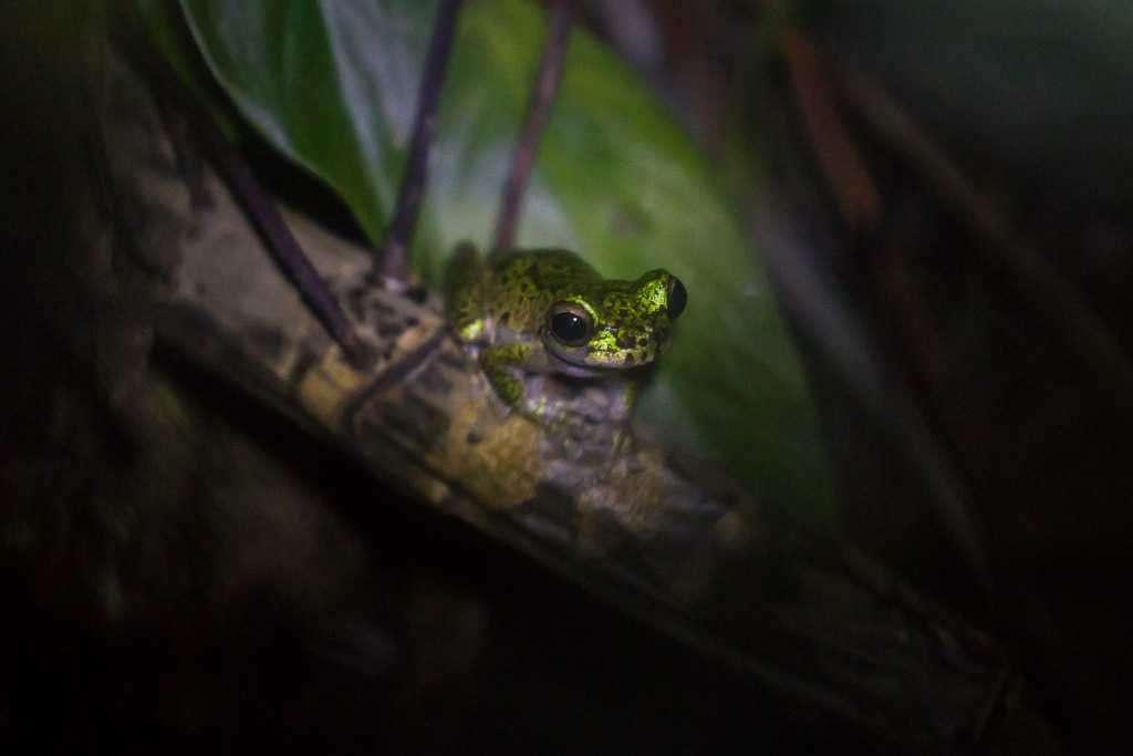 Rana arbórea de Lancaster, ranario de Monteverde, Costa Rica