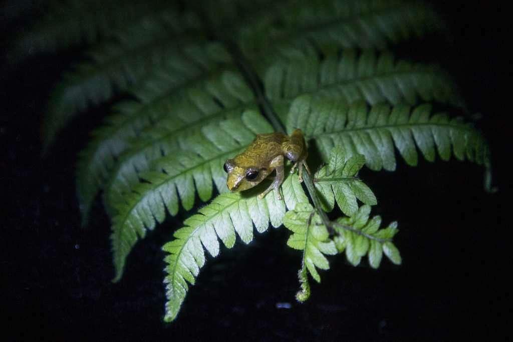 Rana común de lluvia, ranario de Monteverde, Costa Rica