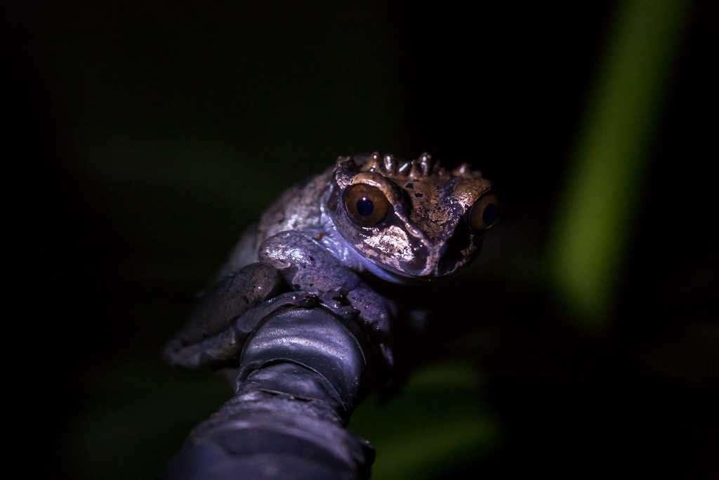 Rana coronada, ranario de Monteverde, Costa Rica