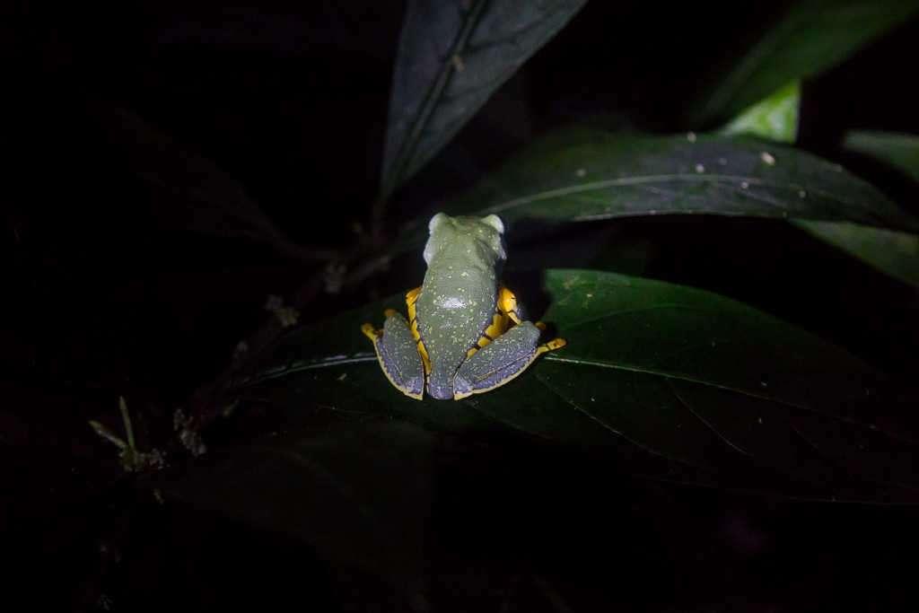 Espalda de la rana esplendida, ranario de Monteverde, Costa Rica