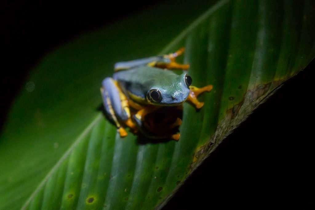 Rana esplendida, ranario de Monteverde, Costa Rica